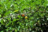 Amazon, Brazil. Acerola fruits on a branch. (Malpighia sp.?)