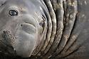 Southern Elephant Seal bull (Mirounga leonina). King Haakon Bay, South Georgia. November.