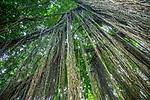 Banyan (Ficus sp.) aerial prop roots, Bali, Indonesia<br /> Canon EOS-1D X, EF24-70mm f/4L IS USM lens, f/4 for 1/25 second, ISO 4000