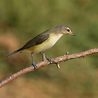 A bird of riparian woodlands, the Warbling Vireo is more easily heard than seen. It has no distinctive field marks, but its rapid warbling song with a accented, high-pitched last note is relatively easy to recognize.