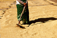Threshing Wheat in the streets of Bhaktapur, Nepal
