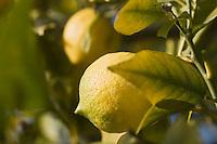 Europe/France/06/Alpes-Maritimes/Menton: Citrons de Menton sur l'arbre