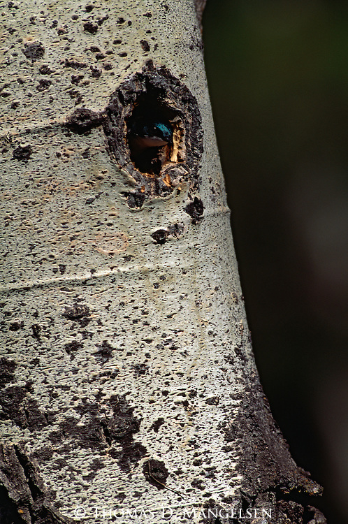 Tree Swallow poking its head out of its nest cavity.