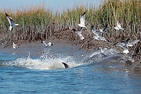 mullet, Mugil sp., leap into the air to escape as strand-feeding bottlenose dolphins, Tursiops truncatus, forces them onto the bank of a salt marsh, South Carolina, USA, Atlantic Ocean (2 of 3)