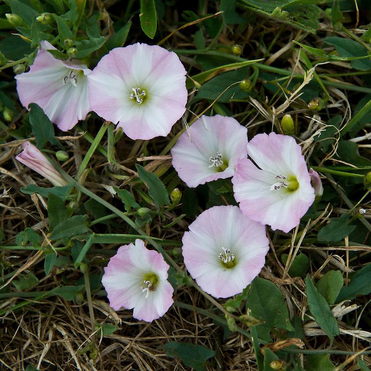 Field bindweed (Convolvulus arvensis), end June.