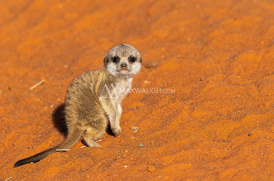 Seeing such young meerkat pups was a special treat.