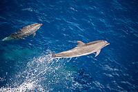 common bottlenose dolphin, Tursiops truncatus, leaping, Atlantic Ocean