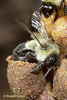 BU23-021z  Bumblebee - worker placing pollen in collecting pot with hind legs - Bombus impatiens
