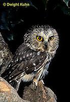 OW02-307b  Saw-whet owl - at nest cavity - Aegolius acadicus