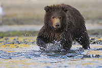 A photo of a grizzly cub walking through the water. Grizzly Bear or brown bear alaska Alaska Brown bears also known as Costal Grizzlies or grizzly bears Grizzly Bear Photos, Alaska Brown Bear with cubs. Purchase grizzly bear fine art limited edition prints here Grizzly Bear Photo Bear Photos,