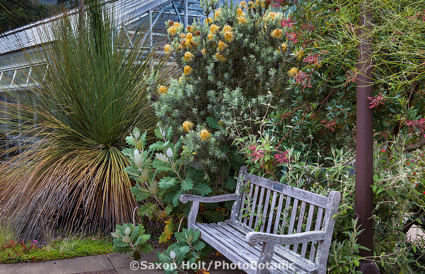 Leucospermum reflexum - Rocket Pincushion, yellow flowering Australian shrub in University of California Berkeley Botanical Garden