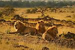 African Lions (Panthera leo) on the Masai Mara National Reserve safari in southwestern Kenya.