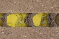 Rote Mauerbiene, Entwicklung, 2. Ei, Eier in Brutkammer mit Pollen und Trennwand aus Lehm. Entwicklungsreihe Entwicklungsstadien, Brutröhre, Niströhre im Querschnitt, Brutkammer, Brutkammern, Rostrote Mauerbiene, Mauerbiene, Mauer-Biene, Nest, Neströhre, Niströhren, Wildbienen-Nisthilfe, Wildbienennisthilfe, Osmia bicornis, Osmia rufa, red mason bee, mason bee, L'osmie rousse, Mauerbienen, mason bees