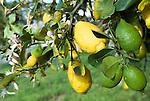 Italy, Calabria: lemon tree, green and yellow fruit, petals