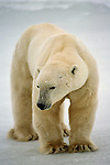 A portrait of an adult polar bear.