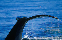 Water streaming off tail of Humpback whale Megaptera novaeangliae during dive North east atlantic