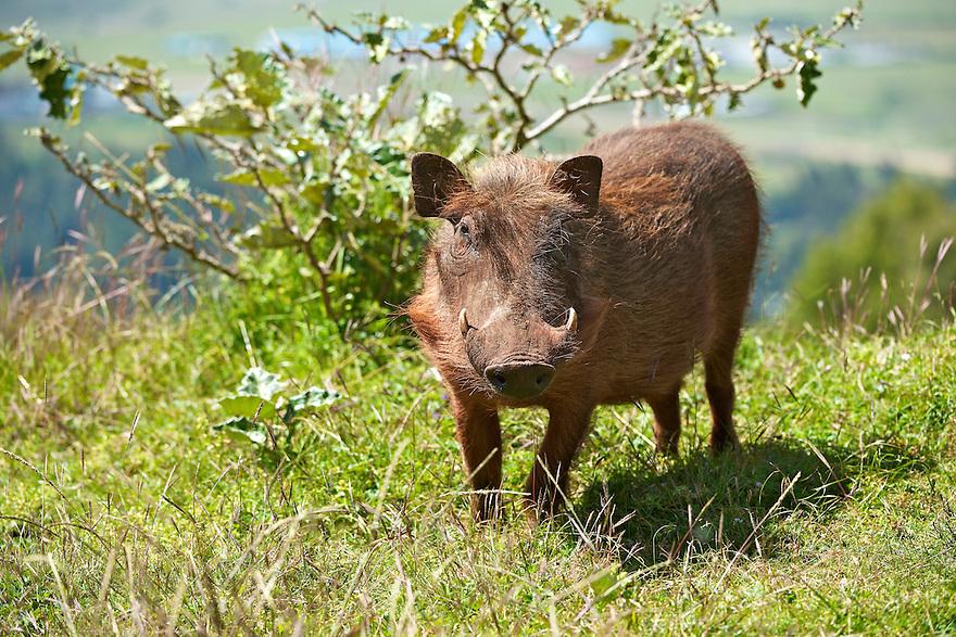 Please credit Rebecca R Jackrel   www.RebeccaJackrel.com   www.ethiopianwolfproject.com