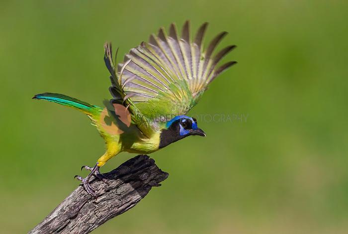 Green Jay taking off in flight  from dead branch