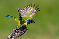 Green Jay taking off in flight  from dead branch