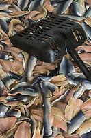 France, Pas-de-Calais (62), Boulogne-sur-Mer: Etablissements JC David , entreprise de salaison : Salage des fillets de hareng // France, Pas de Calais, Boulogne sur Mer:  Establishments JC David, Fishmongers, saurisseur:  Salting herring fillets