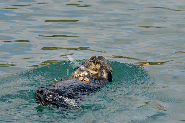 Southern Sea Otter (Enhydra lutris) with clams it has found for food.  California Coast.