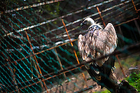 A griffon vulture sits on a branch stub in a small bird enclosure at the Havana Zoo, Havana, Cuba, 12 February 2011. The largest and the oldest zoo in Cuba (founded in 1939) is located in a centric neighborhood of the capital. Since the 1990s Cuba struggles with chronic economic crisis and therefore the strong marks of rundown and lack of sources are evident within the whole zoological garden. A lot of cages are empty and out of use for long time, the remaining animals are captured in poorly maintained pits. Concrete enclosures have no vegetation, all facilities are unkept. The food supply is often inadequate and visitors throw junkfood to the animals because there are no zookeepers around.