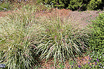 MOLINA CAERULEA `VARIEGATA', VARIEGATED MOOR GRASS
