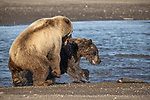 Pictured:  Sequence 10 of 13:  The mum and other bear tussle<br /> <br /> Grizzly bears viciously attack each other as they battle over a fish.  The two brown-haired bears became aggressive as they came to blows over their food, digging their paws and teeth into each other.<br /> <br /> Photographer Kevin Dooley spotted the female bear, thought to be about 16 years old, fighting with the younger five-year-old male bear in southwestern Alaska.  SEE OUR COPY FOR DETAILS.<br /> <br /> Please byline: Kevin Dooley/Solent News<br /> <br /> © Kevin Dooley/Solent News & Photo Agency<br /> UK +44 (0) 2380 458800