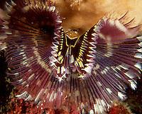 Feather Duster Worm - (Sabellastarte indca)