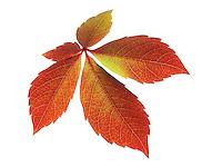 Fallen Autumn Leaf- Virginia Creeper - Brightly coloured laeves.