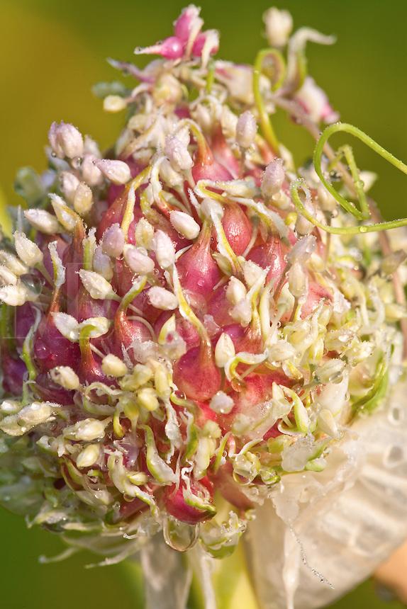 Garlic flower-heads; bulbils