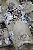 Europe/France/Aquitaine/33/Gironde/Bassin d'Arcachon/La Teste de Buch: Port ostréicole -détail des tuiles couvertes de chaux qui servent de collecteur pour le  naissaim c'est à dire les petites huïtres