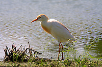 Cattle egret adult breeding standing on shore of pond