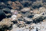 Pumpkinseed eggs on bottom of sand/cobble nest.