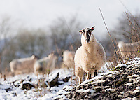 Wednesday 14 January 2015<br /> Pictured: Sheep in the snow <br /> RE: Sheep in the snow on Machen mountain, Caerphilly, Wales.