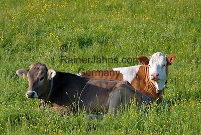 Germany, Upper Bavaria, near Murnau: two young cows lying in a paddock   Deutschland, Bayern, bei Murnau: zwei Jungkuehe ohne Hoerner liegen auf der Weide