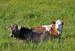 Germany, Upper Bavaria, near Murnau: two young cows lying in a paddock | Deutschland, Bayern, bei Murnau: zwei Jungkuehe ohne Hoerner liegen auf der Weide