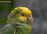 0523-07zz  Yellow-headed Amazon Parrot - Amazona ochrocephala - © David Kuhn/Dwight Kuhn Photography
