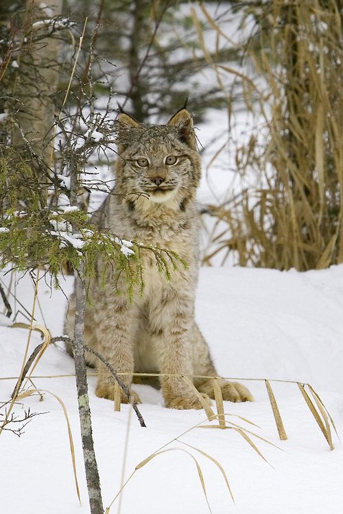 Canada Lynx sitting and watching from the underbrush - CA