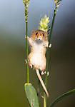 Havest mouse looks looks like it's stilt walking by Norman Watson