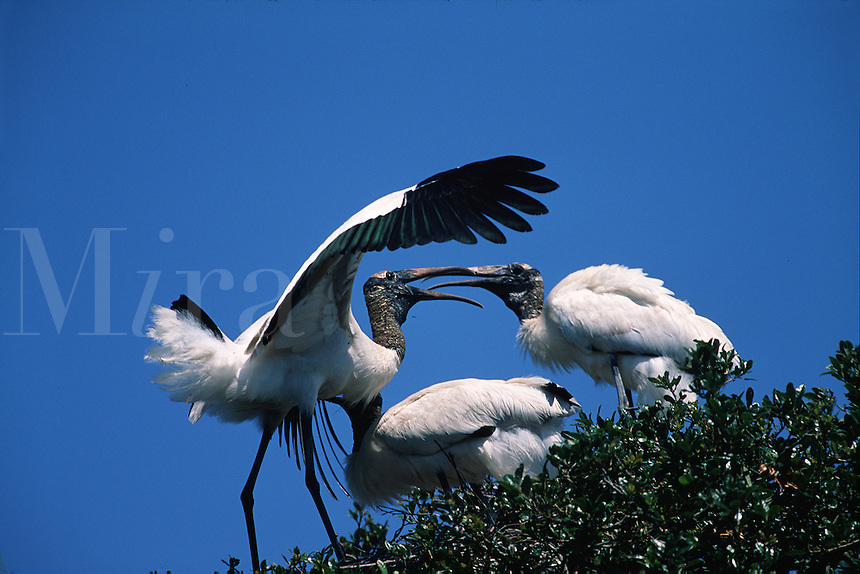 A family of Wood storks (Mycteria americana) greet each other at their nest.