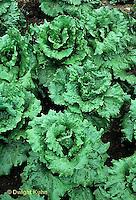HS21-510x  Lettuce - Centennial variety - Summer Crisp