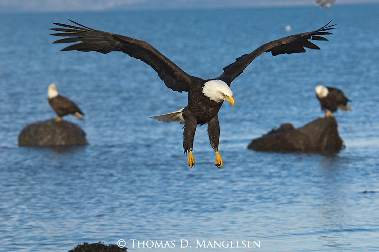Bald eagles on the shore in Homer, Alaska.