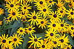 Brown-eyed Susans on the Rose Kennedy Greenway in Boston, MA, USA