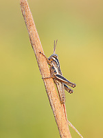 A dew-covered Spur-throated Grasshopper (Melanoplus sp.) nymph perches on a plant stem in the cool air of early morning.