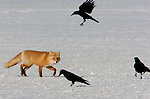 Red Fox and Crows, Japan
