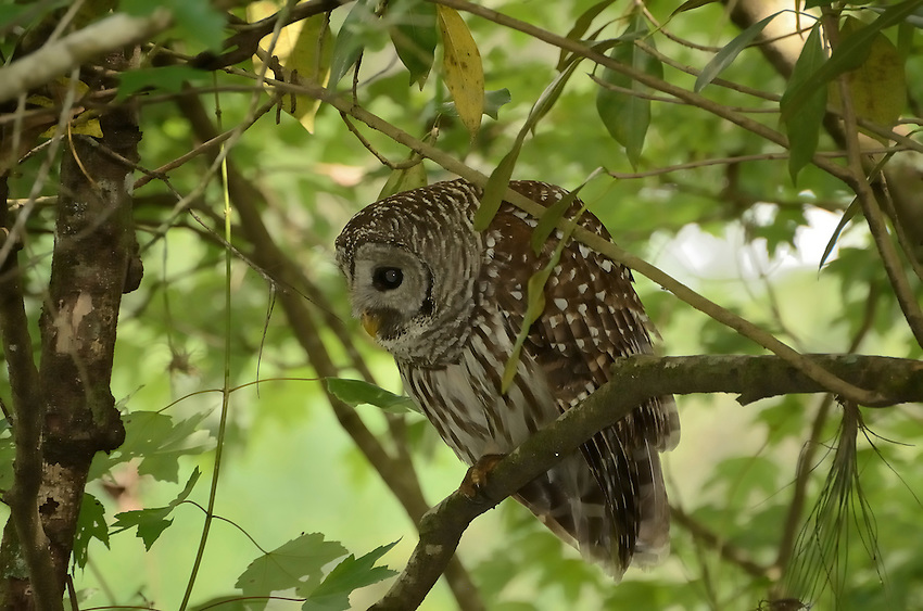 Female Barred Owl in Corkscrew Swamp near Naples, Florida