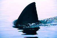dorsal fin of great white shark, Carcharodon carcharias, South Africa