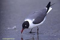 1Z02-030x  Laughing Gull - eating horseshoe crab eggs - Larus atricilla
