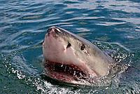 Tubarão branco. Gansbaai. Africa do Sul. Foto de Caio Vilela.